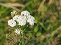 Achillée Millefeuille Achillea millefolium.jpg