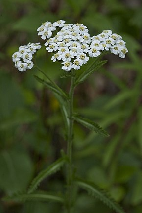 Description de l'image Achillea alpina (7833438438).jpg.