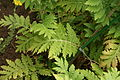 Achillea macrophylla - Botanischer Garten Mainz IMG 5616.JPG