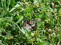 Acraea andromacha (5199799969).jpg