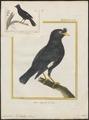Acridotheres cristatellus - 1700-1880 - Print - Iconographia Zoologica - Special Collections University of Amsterdam - UBA01 IZ15800051.tif