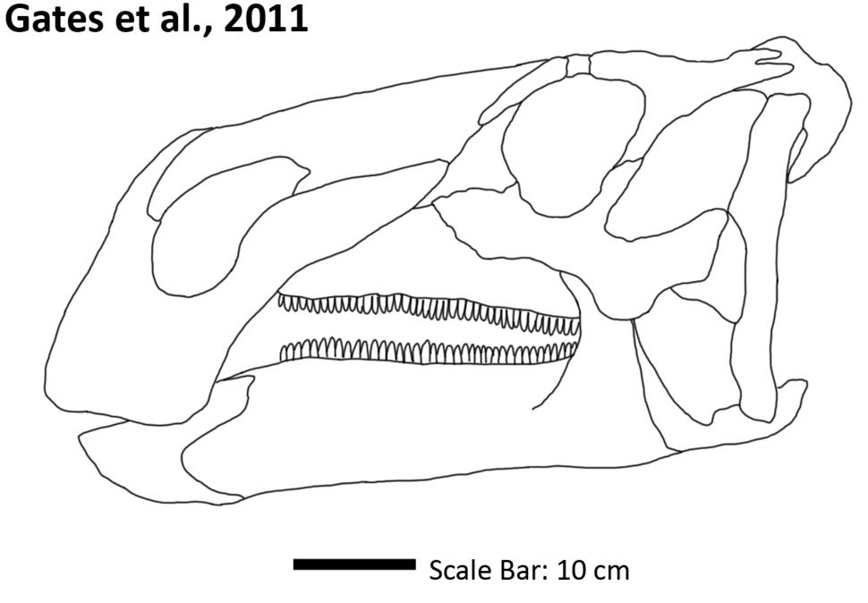 Acristavus Skull