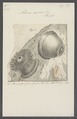 Actinia equina - - Print - Iconographia Zoologica - Special Collections University of Amsterdam - UBAINV0274 109 05 0012.tif