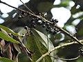 Actinodaphne malabarica Varattuparai DSCN0535.JPG