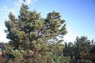 <i>Actinostrobus arenarius</i> species of plant