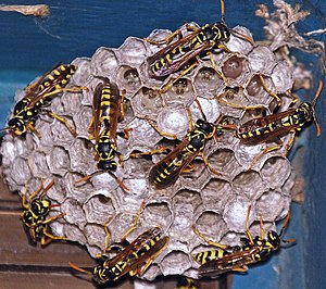 Wasp - Social wasps constructing a paper nest