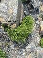 Adiantum pedatum maidenhair fern.jpg