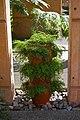 Adiantum sp., Mt Coot-tha Botanic Gardens, Toowong IMGP0013.jpg
