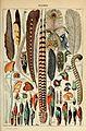 Adolphe Millot plumes-pour tous.jpg