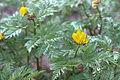 Adonis amurensis 06.jpg