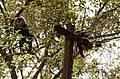 Adult lion-tailed macaque looking at the electrocuted infant in Valparai DSC 2526.jpg