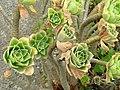 Aeonium balsamiferum - University of California Botanical Garden - DSC08921.JPG