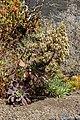 Aeonium davidbramwellii - La Palma 01.jpg