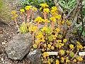 Aeonium simsii - University of California Botanical Garden - DSC08913.JPG