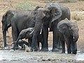 African Elephants (Loxodonta africana) drinking (8291607694).jpg