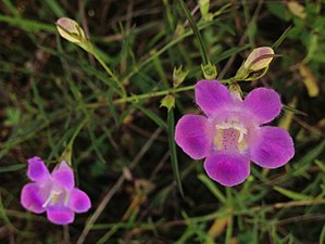 Principle of Priority - Image: Agalinis purpurea Purple False Foxglove