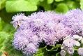 Ageratum houstonianum Blue Puffs 3zz.jpg