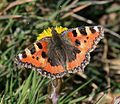 Aglais urticae (Small tortoiseshell) - Flickr - S. Rae (2).jpg
