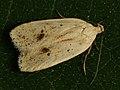 Agonopterix kaekeritziana (40813453772).jpg