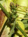Agrimonia procera PID1363-4.jpg