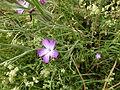 Agrostemma githago 003.jpg