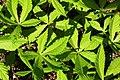 Agrosylva Nursery - Horsechestnut - Aesculus hippocastanum.JPG