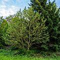 Ahornblatt Platane Queen-Auguste-Victoria-Park (Umkirch) jm30475.jpg