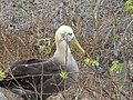 Albatross birds - Espanola - Hood - Galapagos Islands - Ecuador (4870983531).jpg