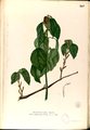 Alchornea sicca Blanco2.307-original.png