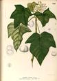 Aleurites moluccanus Blanco1.220-original.png
