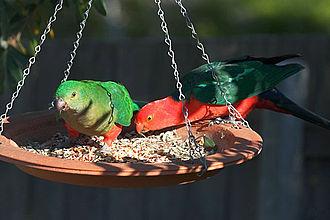 Australian king parrot - Image: Alisterus scapularis North Lyneham pair 8