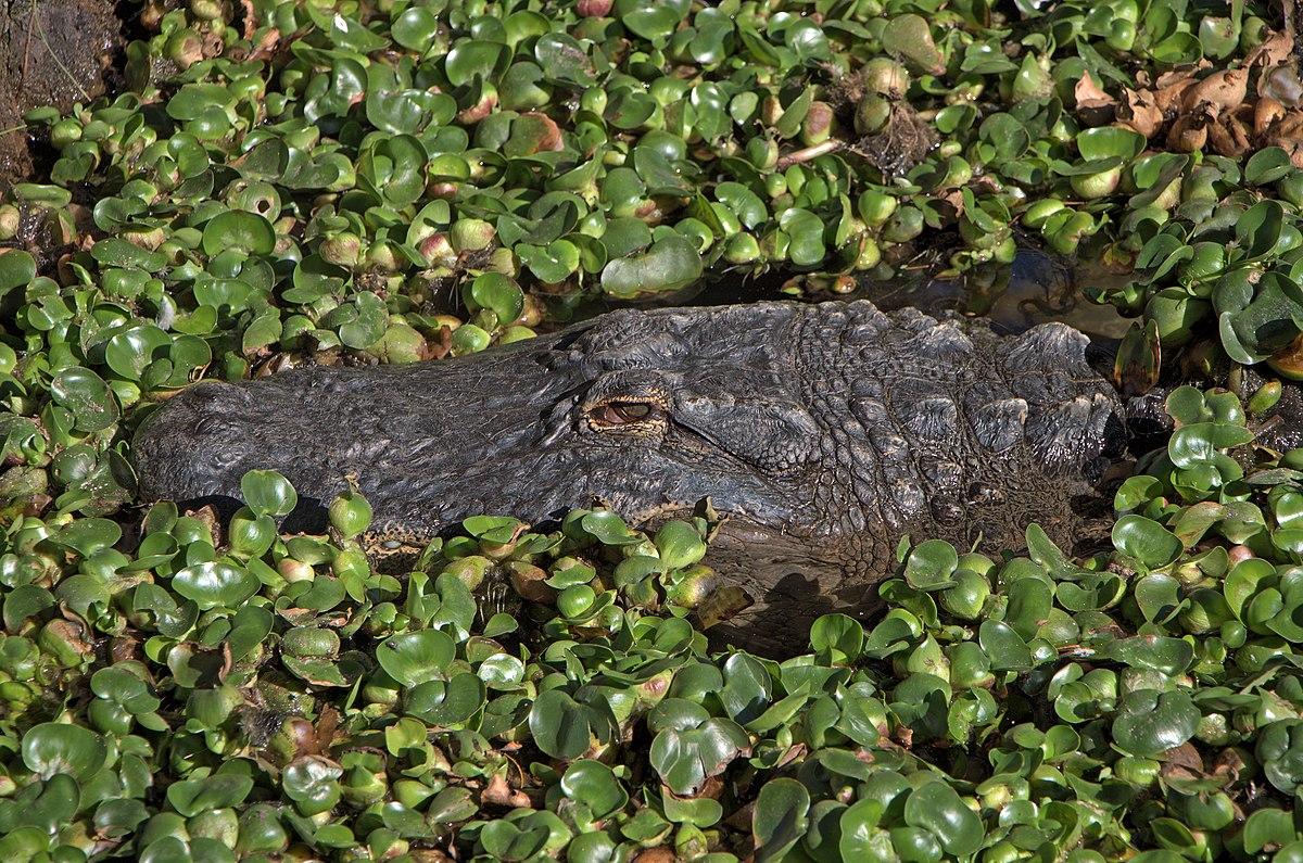 Alligator mississippiensis - Oasis Park - 001.jpg