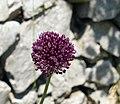 Allium scorodoprasum inflorescence (18).jpg