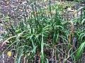 Allium thunbergii 0zz.jpg