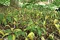 Allium ursinum kz07.jpg