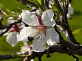 Almond blossoms.jpg