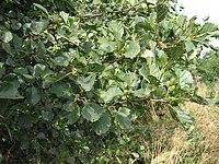Alnus glutinosa
