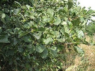 Betulaceae - Black alder (Alnus glutinosa)