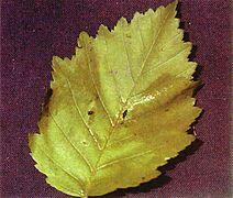Alnus incana tenuifolia leaf.jpg