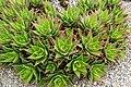 Aloe brevifolia kz1.jpg