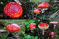Amanita muscaria (GB= Fly Agaric, D= Fliegenpilz, F= Amanite tue-mouches, NL= Vliegenzwam), in the NP Hoge Veluwe forest, and probably therefore dark red - panoramio.jpg