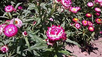 Amaranth-colored strawflower 01.jpg