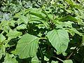 Amaranthus blitum subsp. blitum sl3.jpg