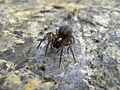 Amaurobius fenestralis (3664150200).jpg