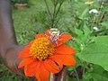 Amazing bug2-Spiny flower mantis (Pseudocreobotra wahlbergi).jpg