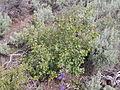 Amelanchier alnifolia (4395404654).jpg