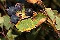 Amelanchier alnifolia 2801.JPG