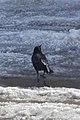 American Crow (Corvus brachyrhynchos) - Thunder Bay, Ontario 02.jpg