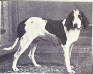 American Foxhound from 1915