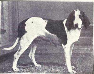 American Foxhound - American Foxhound circa 1915.